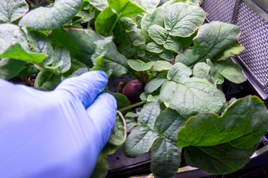 radis cultivé à l'intérieur du vaisseau spatial ISS