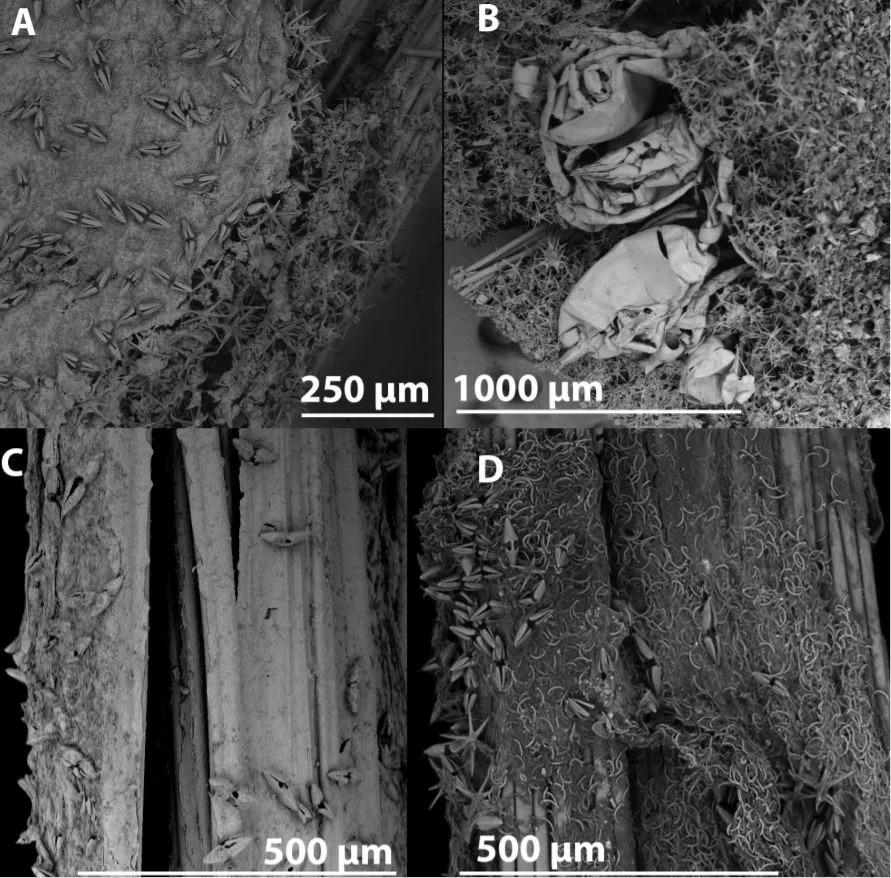 Espèces d'éponge carnivore en images microscopiques