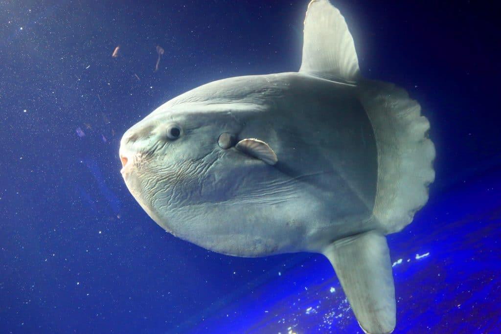 Le plus gros poisson osseux semble mort sur la plage de Fortaleza.  Image: Shutterstock