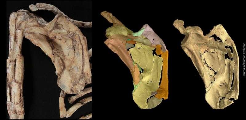 Épaule du petit pied fossile