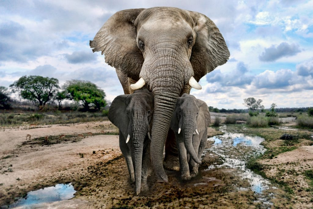 Les éléphants font partie des espèces menacées par les conflits en Afrique.