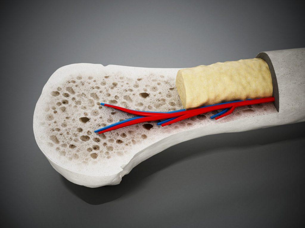 Coupe transversale montrant la structure interne des os d'un vertébré.