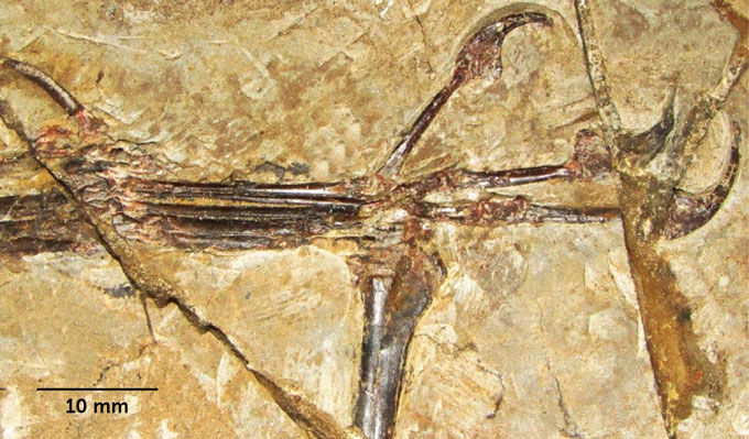 Monkeydactyl des scientifiques decouvrent un dinosaure volant avec des pouces