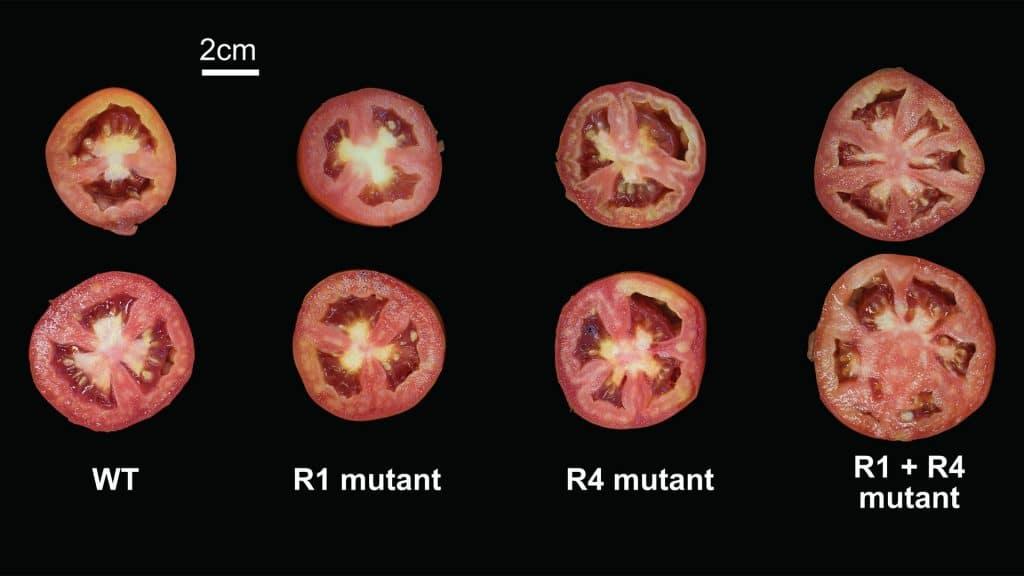 Pour les genes de la tomate un plus un nest