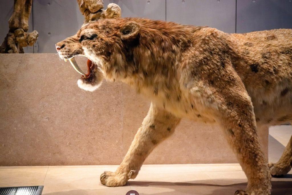 Des scientifiques decouvrent le plus grand felin a dents de