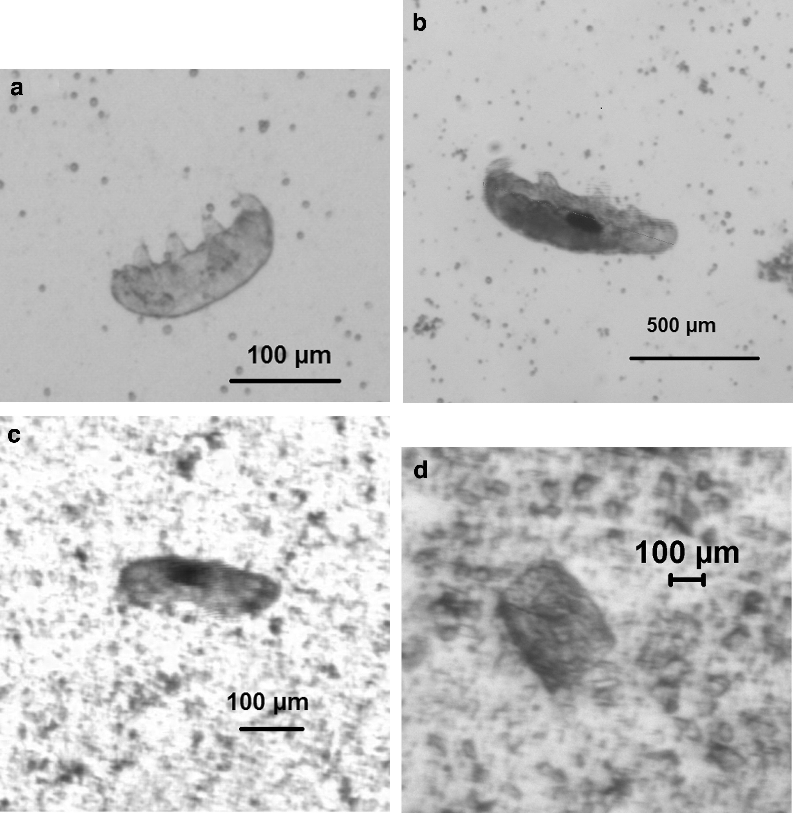 Tardigrades utilisés dans l'expérience