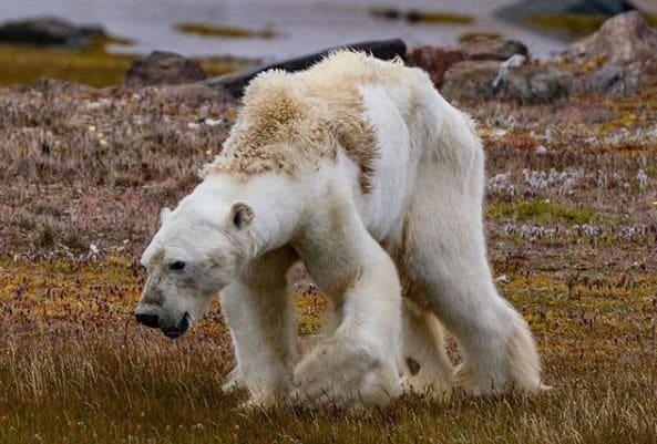 Le rechauffement climatique a augmente le nombre de grizzlis hybrides