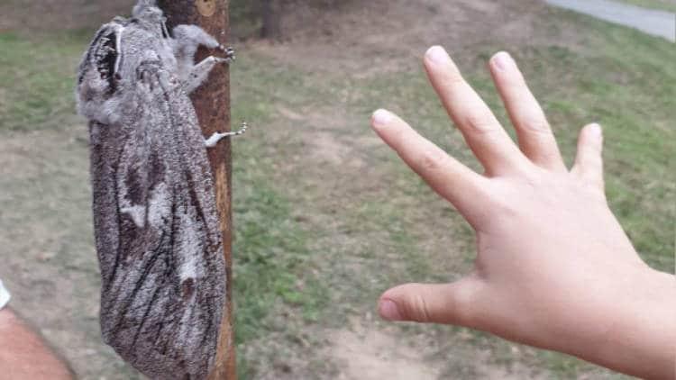 Les briqueteurs decouvrent le plus grand papillon de nuit du
