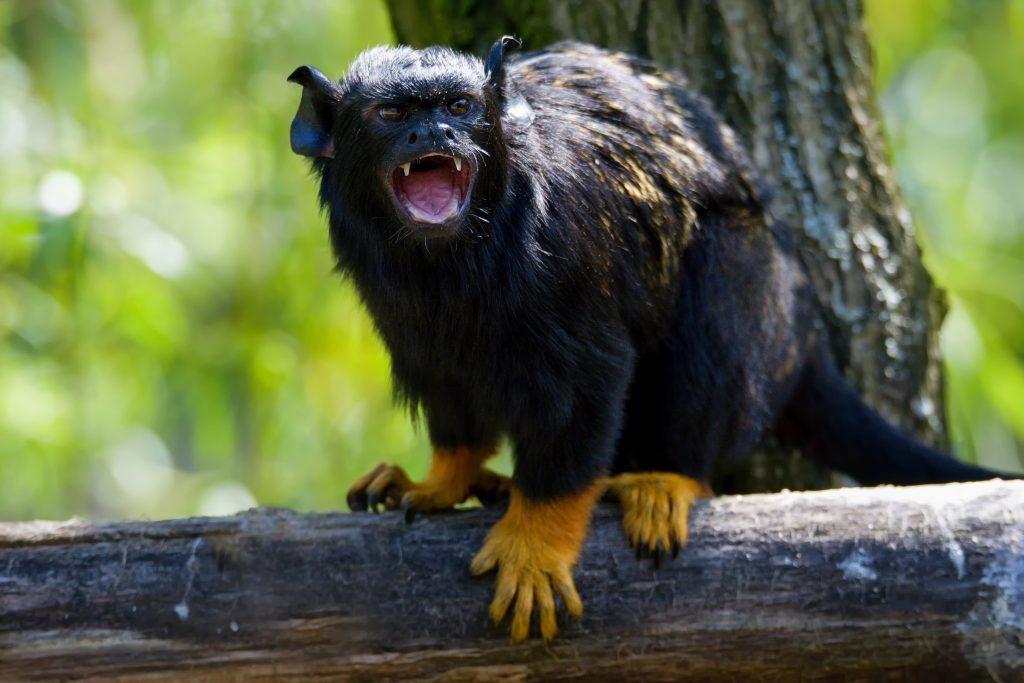 Les singes copient laccent pour se melanger avec les