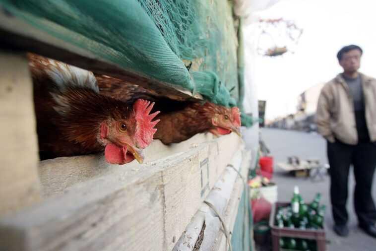 Que savons-nous du premier cas d'un homme infecté par le nouveau virus de la grippe aviaire