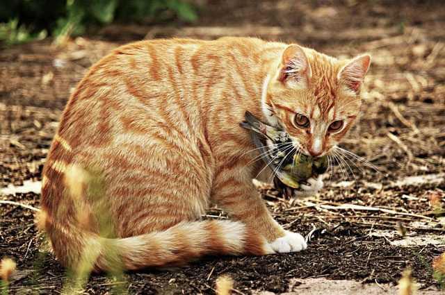 Votre chat est un tueur - vous devriez le garder à la maison