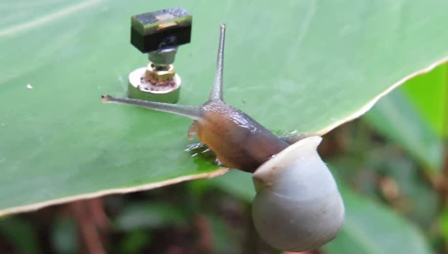 Des scientifiques transforment des escargots en cyborgs pour lobservation de