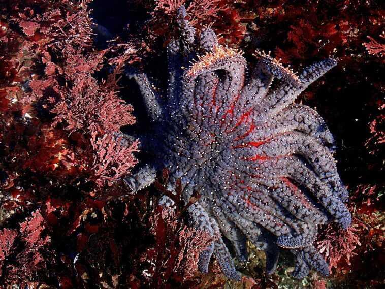 Le Changement Climatique Détruit Des Milliards D'étoiles De Mer
