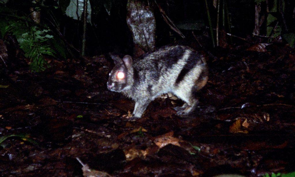 Le lapin le plus rare du monde est trouve… sur