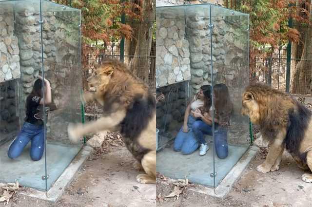 """Lion Confus Et Humilié Par Une Nouvelle """"attraction"""" Installée Dans"""