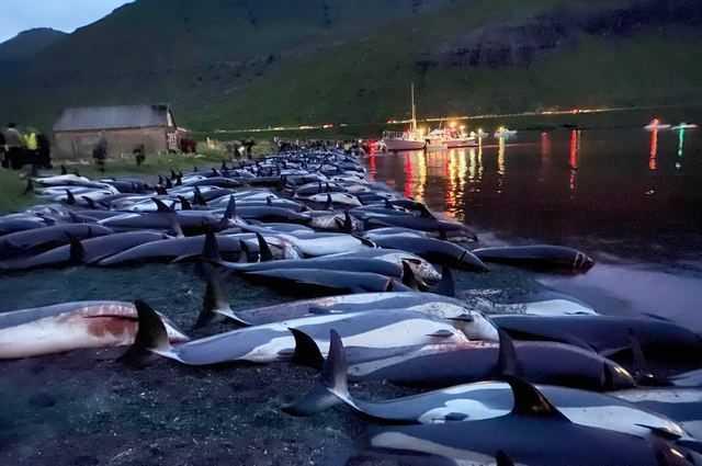 1500 Dauphins Poignardés à Mort Aux îles Féroé : Ce