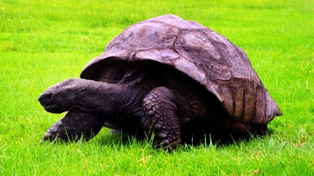 La plus vieille tortue animale du monde Jonathan