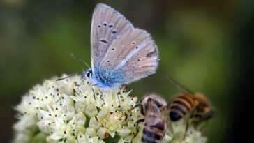 9% Des Abeilles Et Des Papillons Risquent L'extinction : Parce
