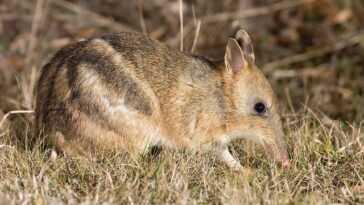 Ce Marsupial Est Le Premier Animal Déclaré éteint à L'état
