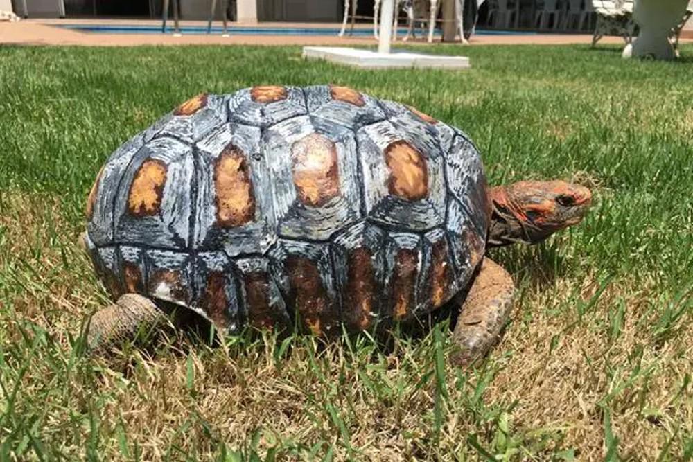 La tortue Fred, avec sa carène peinte par les Brésiliens qui l'ont imprimée en 3D et entrée dans le Guinness Book