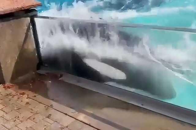 L'orque Kiska, Seule Et Enfermée Depuis 40 Ans, Se Cogne