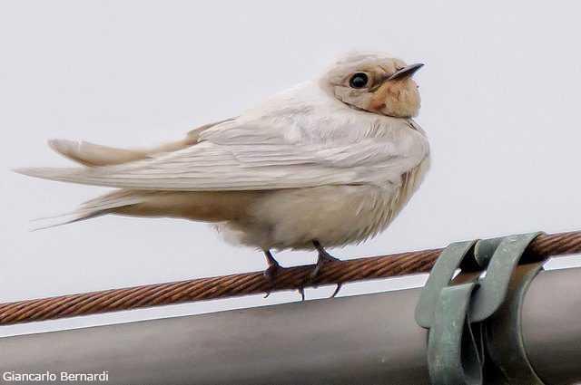 Magnifique Et Rare Hirondelle Blanche Aperçue Dans Le Parc National