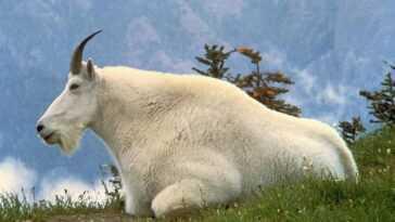 Snow Goat Tue Un Grizzly En Le Perçant Avec Ses