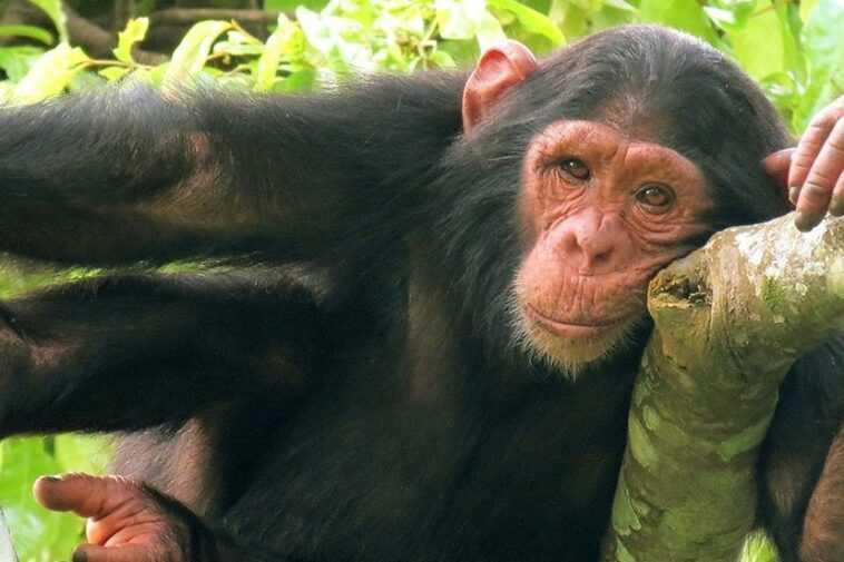 Les Images Hilarantes Du Chimpanzé Utilisant Une Bouteille Comme Jouet