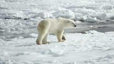 Les Ours Polaires, Les Phoques Et Autres Animaux Arctiques Disparaîtront